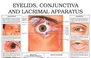 Eyelids, conjunctiva and lacrimal apparatus