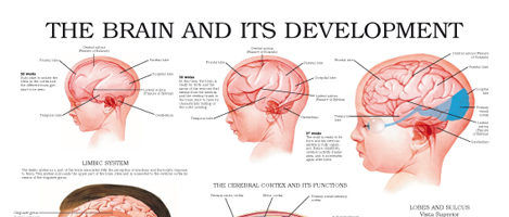 The brain and its development